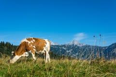 Krowa w naturze Zdjęcia Stock