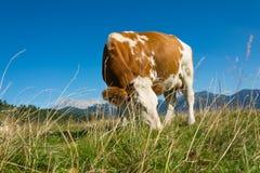 Krowa w naturze Obraz Royalty Free