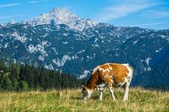 Krowa w naturze Obrazy Royalty Free