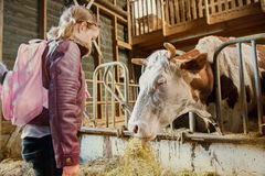 Krowa w niewywrotnym łasowania sianie Obrazy Stock