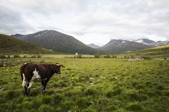 Krowa w Norweskim parku narodowym Obraz Stock