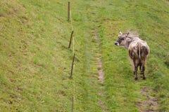 Krowa w paśniku w Ahrntal w Włochy Zdjęcia Royalty Free