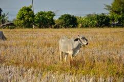 Krowa w polu Obraz Royalty Free