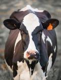 Krowa w polu obrazy royalty free