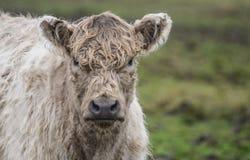 Krowa w polu Fotografia Stock