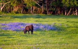 Krowa w polu Bluebonnets obrazy stock
