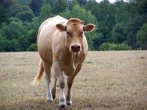 Krowa w polu w lecie obraz royalty free
