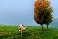 Krowa w polu na mgłowym ranku. zdjęcie royalty free