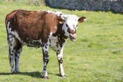 Krowa w polu na trawie, Krowa na paśniku outdoors, agriculrure Normande rasy traken od Normandy, Francja Zdjęcia Royalty Free