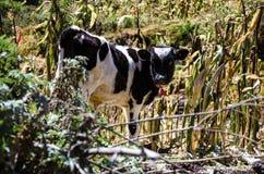 Krowa wśród obszarów trawiastych Zdjęcia Stock