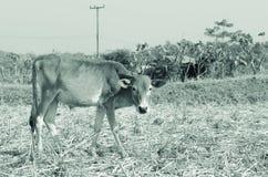 Krowa w ricefarm Zdjęcia Royalty Free