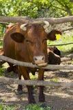 Krowa w schronieniu Zdjęcia Stock