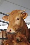 Krowa w stajence Obraz Royalty Free