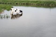 Krowa w wodzie Zdjęcia Royalty Free