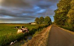 Krowa w wodzie Fotografia Stock