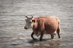 Krowa w wodzie na jeziorze Obrazy Royalty Free