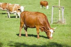 Krowa w zielonej trawie Obraz Royalty Free