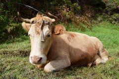 Krowa w zielonym lesie Obrazy Stock