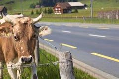 Krowa w zielonym wypasie Fotografia Royalty Free