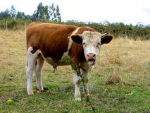 Krowa wtyka swój jęzor out robi śmiesznej twarzy w polu Zdjęcia Stock