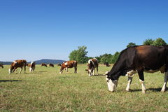 krowa wypas zdjęcie royalty free