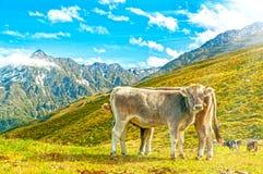 krowa wysokogórski paśnik obraz stock