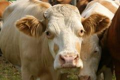krowa życzliwa Zdjęcie Stock