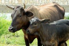 Krowa z jego łydką Zdjęcie Stock