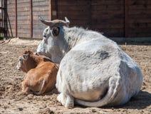 Krowa z jej łydką Zdjęcia Stock