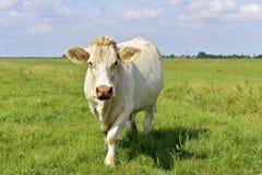 Krowa z komarnicą na jego głowie Obrazy Stock