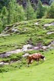 Krowa z ogromnym pi Fotografia Royalty Free