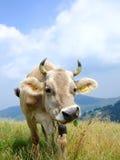 krowa zabawna Obrazy Stock