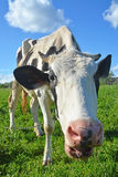 krowa zabawna Obrazy Royalty Free