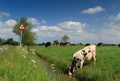 Krowa & znak Obrazy Stock