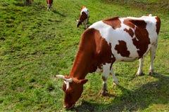 krowy łąka Zdjęcia Stock