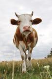 krowy łąka Zdjęcia Royalty Free