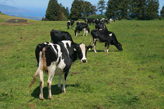 krowy łąkowe Zdjęcie Stock