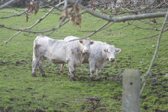 krowy łąkowe Obrazy Royalty Free