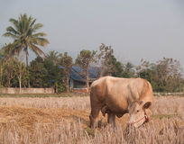 Krowy łasowania słoma na paśniku i trawa Obraz Stock