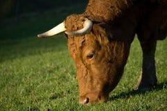 krowy łasowanie obraz stock