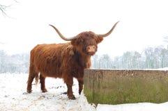 krowy średniogórze zdjęcie stock