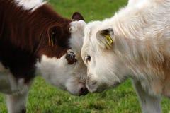 krowy Obraz Royalty Free