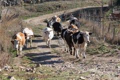 krowy Zdjęcie Stock
