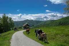 krowy Zdjęcia Royalty Free