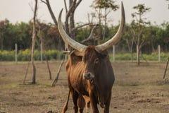 krowy Obraz Stock