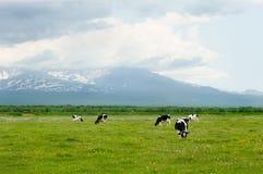 krowy Zdjęcia Stock