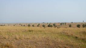 Krowy antylopa lub hartebeest pasanie w dzikiej Afrykańskiej sawannie zbiory