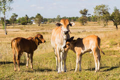Krowy Asia zwierzęcia las Fotografia Royalty Free