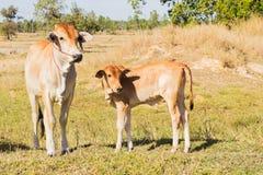 Krowy Asia zwierzęcia las Obrazy Stock