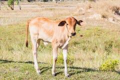 Krowy Asia zwierzęcia las Fotografia Stock